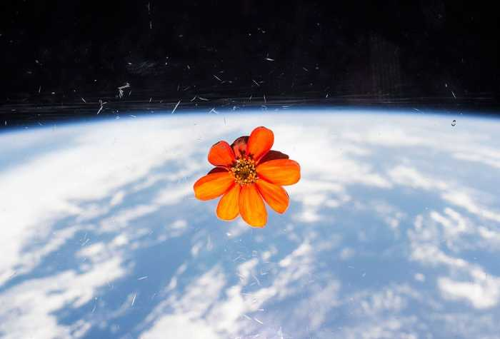 ISS astronauts brought a zinnia flower